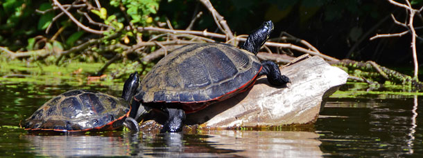 Turtles of New Jersey