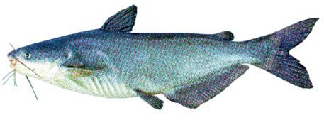 CatfishBlueAmcp102