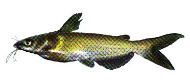 CatfishChannelAmcf
