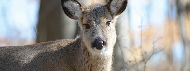 Bonus Antlerless Deer
