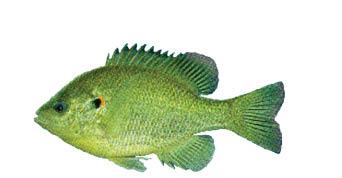 SunfishRedearAmc102