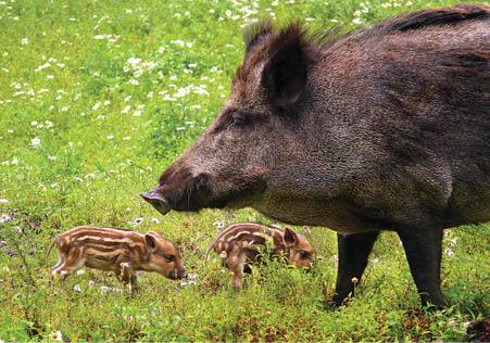 Ferel_Swine_Piglets_2_-_Joerg_Mikus_dreamstime_com