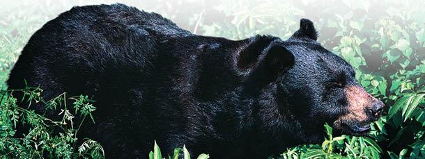Bear Regulations