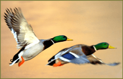 mallards_p-_35_ma_guide_bill_byrne__0054_