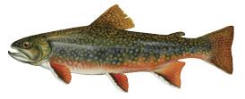 brook_trout_4c