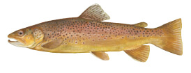 brown_trout_4c
