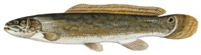 page_21_bowfin