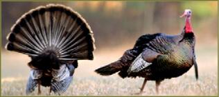 turkey_tom_turkeys_display_v4_by_bill_byrne_tiff