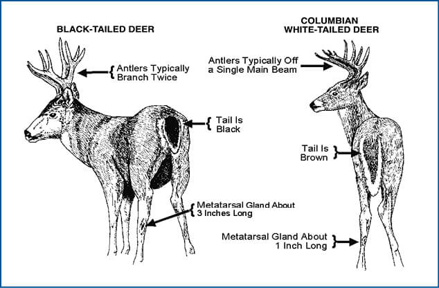 Oregon deer hunting regulations oregon hunting seasons for Idaho out of state fishing license