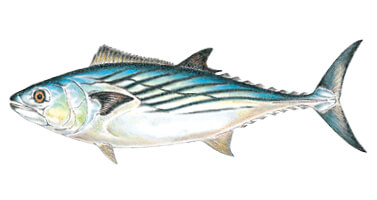 Commonly caught species massachusetts saltwater fishing for Massachusetts saltwater fishing license