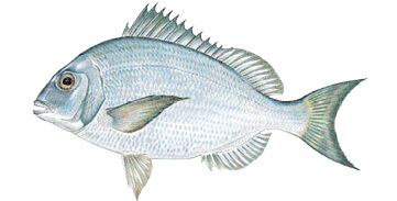 Commonly caught species massachusetts saltwater fishing for Ma saltwater fishing license