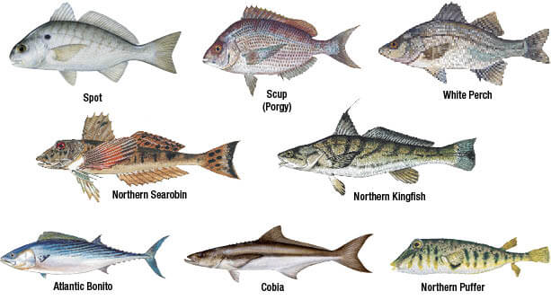 Marine species identification new jersey saltwater for Atlantic game fish