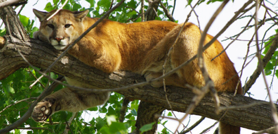 Killing mountain lions in oklahoma best mountain 2017 for Oklahoma fishing license cost 2017