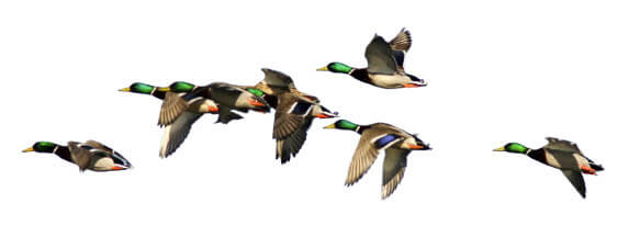 Migratory game bird hunting maryland hunting seasons for Md fishing license cost