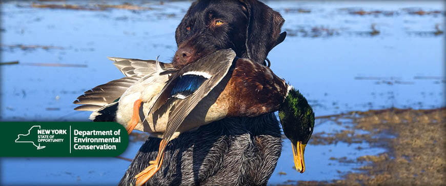 New york hunting seasons regulations 2017 eregulations for New york out of state fishing license