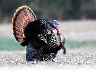 Wild turkey hunting indiana hunting seasons for Indiana lifetime fishing license