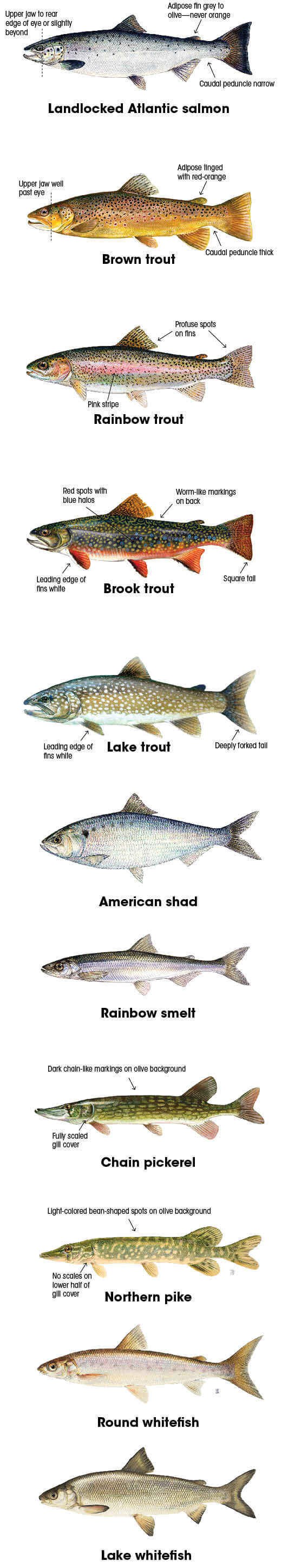 Fish identification new hampshire freshwater fishing for Nh fishing license