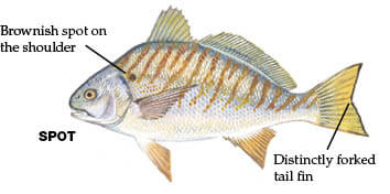Georgia saltwater fish georgia fishing regulations guide for Georgia fishing regulations