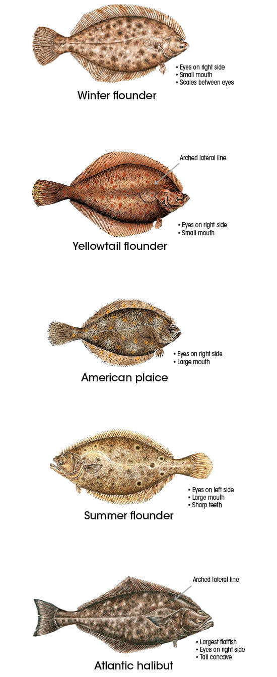 Flounder and herring identification new hampshire for California saltwater fish species