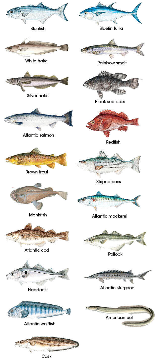 finfish identification new hampshire saltwater fishing