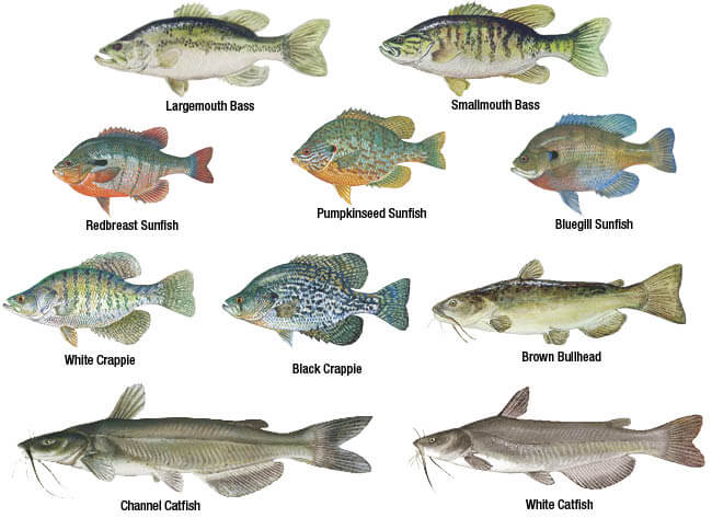 New jersey freshwater fishes new jersey freshwater for Nj saltwater fishing regulations