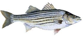 rockfish på svenska