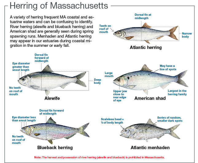 herring of massachusetts massachusetts saltwater fishing