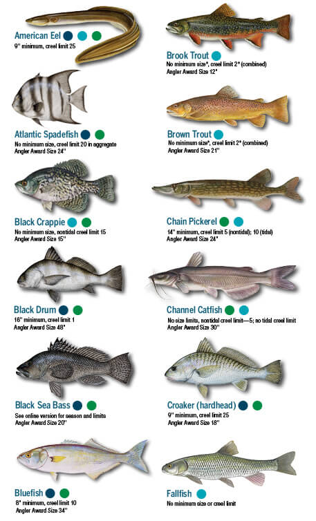 Fish identification maryland fishing regulations 2018 for Tidal fish chesapeake