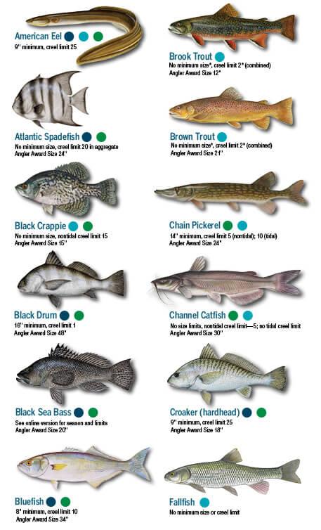 Fish Identification Maryland Fishing Regulations 2018 Eregulations