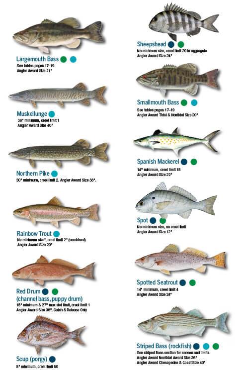 Fish Identification Maryland Fishing Regulations 2018 Eregulations Virginia Beach Species