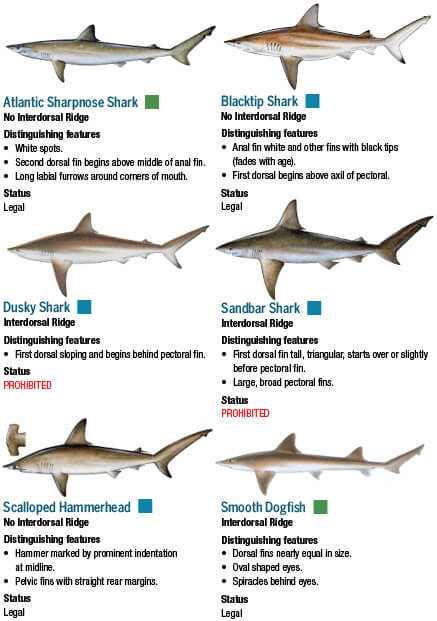 Sharks maryland fishing regulations 2018 eregulations for Florida fish size limits