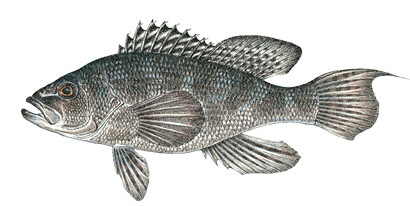 Commonly caught species massachusetts saltwater fishing for Mass fishing regulations