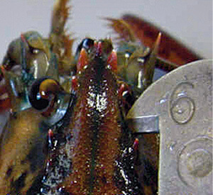 How to measure a lobster massachusetts saltwater fishing for Massachusetts saltwater fishing regulations