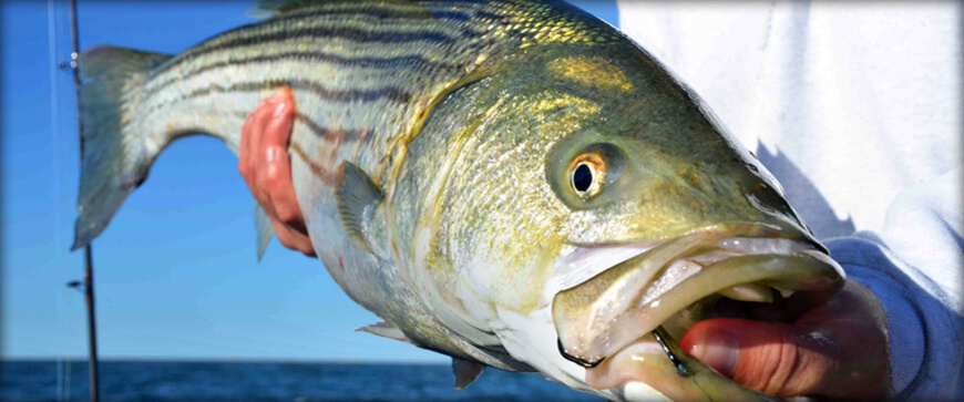 Welcome to the Massachusetts Saltwater Fishing Regulations