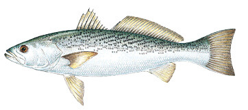Commonly caught species massachusetts saltwater fishing for Rhode island saltwater fishing license