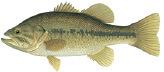 Fish identification indiana fishing regulations 2018 for Indiana fishing license