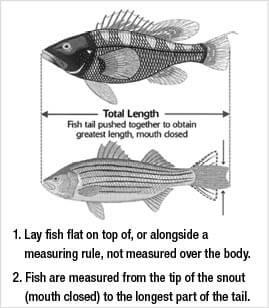 Finfish regulations new jersey saltwater fishing for New jersey saltwater fishing regulations