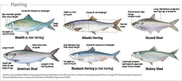 Marine species identification new jersey saltwater fishing