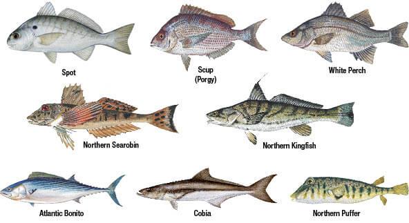 Marine species identification new jersey saltwater for Texas saltwater fishing license