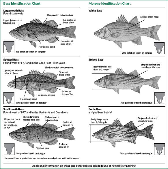How Much Is A Fishing License In Nc: North Carolina Hunting & Fishing