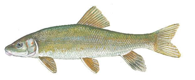 Fish Identification   New Jersey Freshwater Fishing Seasons