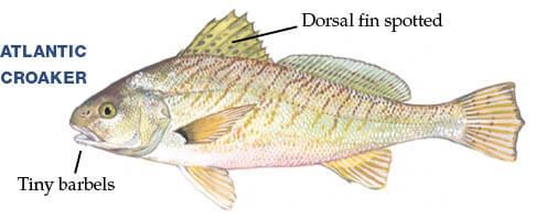 Georgia Saltwater Fish | Georgia Fishing Regulations Guide