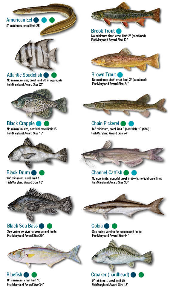 Fish identification maryland fishing regulations 2019 eregulations