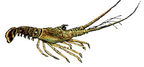 Crustaceans & Mollusks | Florida Saltwater Fishing Regulations