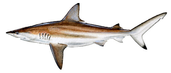 Common Sharks in Mississippi Waters | Mississippi Saltwater