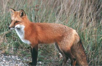 Furbearer Trapping & Hunting | Delaware Hunting Seasons