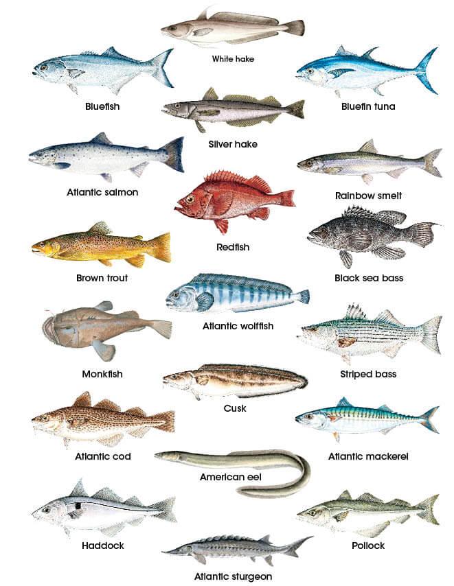 Finfish Identification New Hampshire Saltwater Fishing Regulations Seasons 2020 Eregulations,Stargazing Lily Flowers