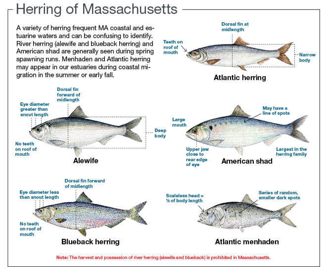 Inland Fishes of Massachusetts