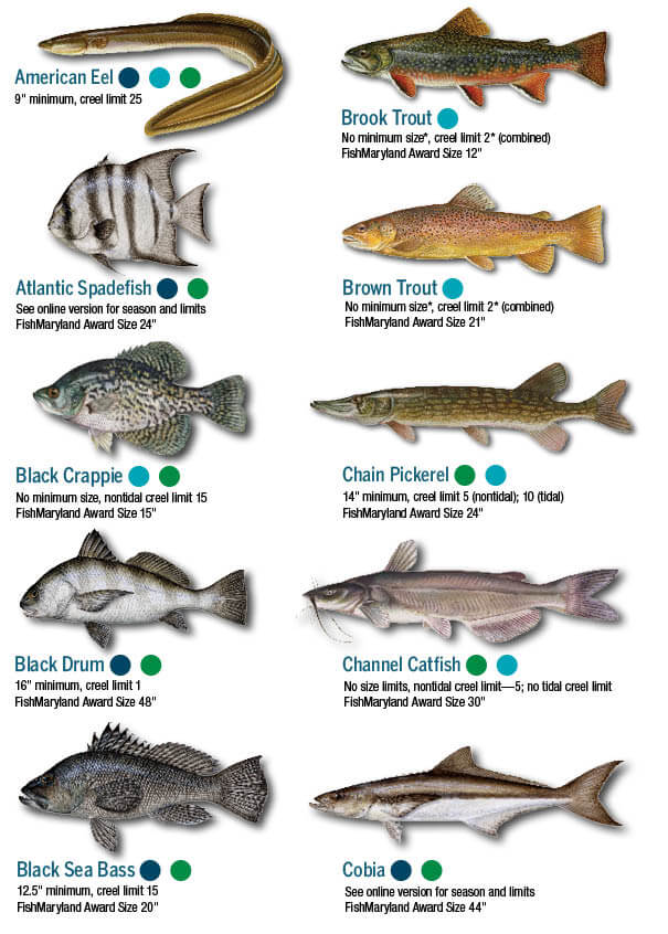 Fish Identification Maryland Fishing Regulations 2020 Eregulations