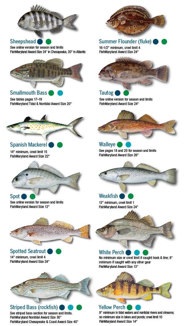 Fish Identification Maryland Fishing Regulations 2020 Eregulations,Stargazing Lily Flowers